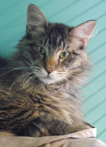 refuge chat maine coon