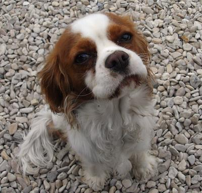 refuge chien cavalier king charles