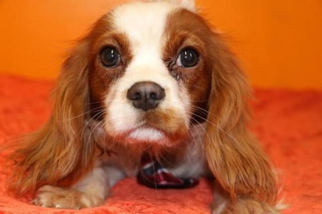 refuge chien cavalier king charles