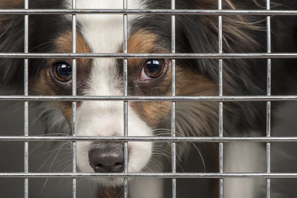 refuge chien dangereux