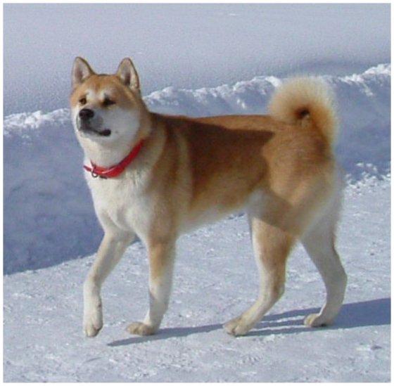 refuge chien japonais