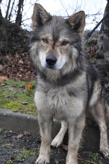 refuge chien loup tchecoslovaque