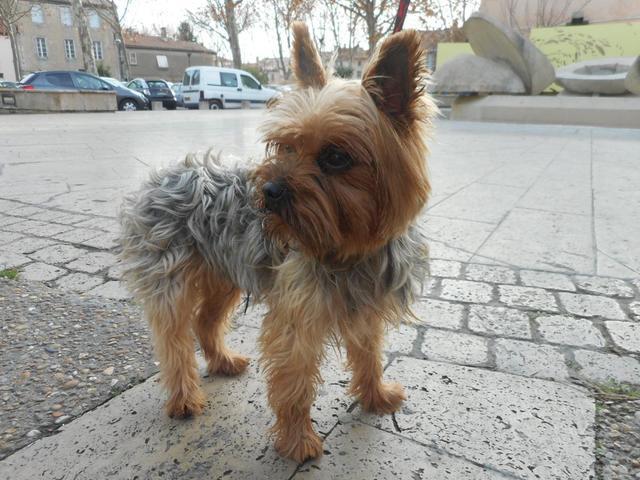 refuge chien yorkshire