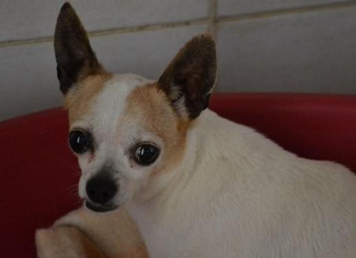 refuge chien chihuahua