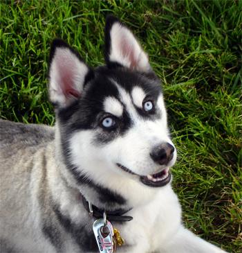refuge chien husky